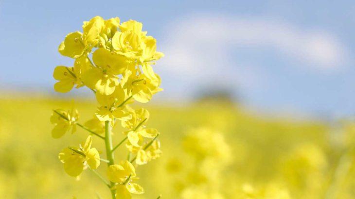 黄色い絨毯が広がる絶景!佐賀東部・小郡・朝倉エリア菜の花スポットまとめ