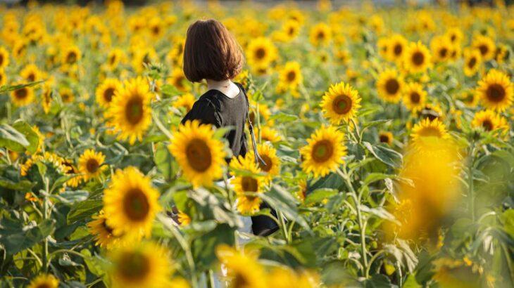 9月下旬~10月上旬が見頃!「杷木大ひまわり園」を観に行こう